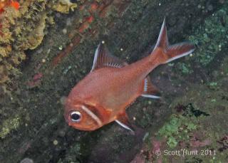 Trachichthys australis (Roughy) - Foggy Fish