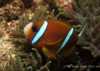 Amphiprion akindynos (Brown Anemonefish) - NW Rock - Fish Soup