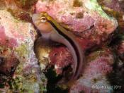 Parablennius laticlavius (Crested Blenny)