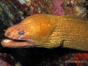 Gymnothorax obesus (Speckled Moray)