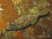 Parika scaber (NZ Leatherjacket)