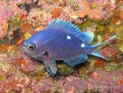 Chromis dispilus (Demoiselle)