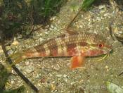 Upeneichthys lineatus (Blue-lined Goatfish) - Terrigal Haven