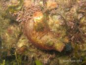 Herdmania  momus - Terrigal Haven