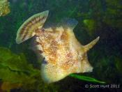Monacanthus chinensis (Fan Bellied Leatherjacket) - Terrigal Haven