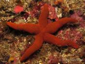 Fromia polypora (Many-pored star) - Pikers Loss