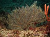 Solanderia fusca (Dusky Hydroid) - The Boiler