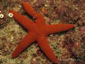 Fromia polypora (Many-pored star) - The Boiler