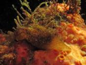 Aplysia sydneyensis (Sydney Sea Hare) - The Boiler