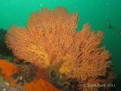 Mopsella zimmeri (Gorgonian) - Jeffs Reef