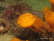 Ostracion cubicus (Yellow Boxfish) - Fly Point (Right)