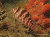 Cirrhitichthys aprinus (Blotched Hawkfish) - Fly Point