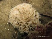 Triphyllozoon moniliferum (Lace Bryozoan) - Seahorse Garden