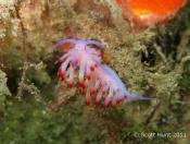 Flabellina rubrolineata (Red-lined Flabellina) - Fly Point