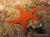Fromia polypora (Many-pored star) - TV Reef