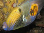 Meuschenia freycineti (Six-spine Leatherjacket) - Terrigal Haven