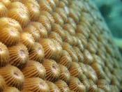 Stony Corals (Order Scleractinia) - The Fish Market
