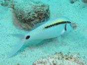 Parupeneus barberinus (Dash-dot Goatfish) - The Fish Market