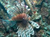 Pterois volitans (Lionfish) - The Fish Market