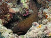 Gymnothorax javanicus (Giant Moray) - The Fish Market