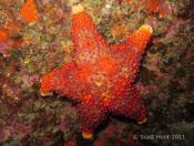 Asterodiscides truncatus (Firebrick Star) - Kariparipa Point