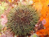 Evechinus chloroticus (Kina - NZ Sea Urchin) - Cathedral Cave