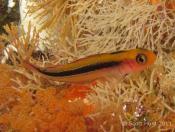 Obliquichthys maryannae (Oblique-swimming triplefin) - Cathedral Cave