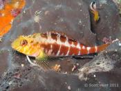 Forsterygion malcolmi (Banded Triplefin) - Cathedral Cave