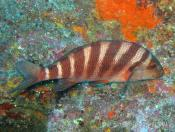 Goniistius spectabilis (Banded Morwong) - Cathedral Cave