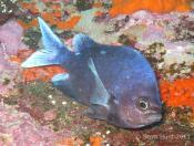 Chromis dispilus (Demoiselle) - Cathedral Cave
