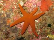 Fromia polypora (Many-pored star) - 5 Mile Reef - Six Legs