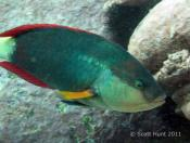 Notolabrus gymnogenis (Crimson Banded Wrasse) - Terrigal Haven