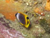 Chaetodon flavirostris (Dusky Butterflyfish) - Terrigal Haven