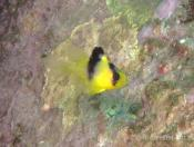 Diploprion bifasciatum (Yellow Emperor) - Terrigal Haven