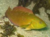 Pictilabrus laticlavius (Senator Wrasse) - Terrigal Haven