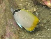 Chaetodon guentheri (Gunther's Butterflyfish) - Terrigal Haven