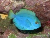 Acanthurus albipectoralis (White-fin Surgeonfish) - Terrigal Haven