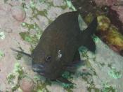 Parma microlepis (White Ear Parma) - Terrigal Haven
