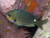 Chromis hypsilepis (One-spot Puller) - Terrigal Haven