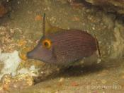 Pervagor alternans (Bright-eye Filefish) - Terrigal Haven