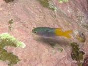 Neopomacentrus azysron (Yellow-tail Damsel) - Terrigal Haven