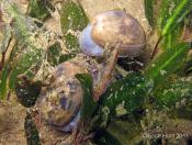 Bulla quoyii (Botany Bay Bubble) - Terrigal Haven