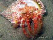 Dardanus lagopodes (Hairy Red Hermit Crab) - Pipeline
