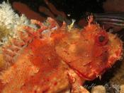 Scorpaena cardinalis (Red Rock Cod) - Halifax Park
