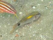 Parupeneus barberinus (Dot and Dash Goatfish) - Terrigal Haven
