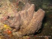 Terrigal Haven; Sponges (PORIFERA)