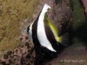 Heniochus acuminatus (Reef Bannerfish) - Terrigal Haven