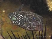 Ostracion meleagris (Black Boxfish) - Terrigal Haven