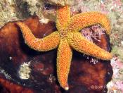 Seastars, Starfish (Class ASTEROIDEA) - Foggy Cave
