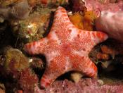 Seastars, Starfish (Class ASTEROIDEA) - First Point